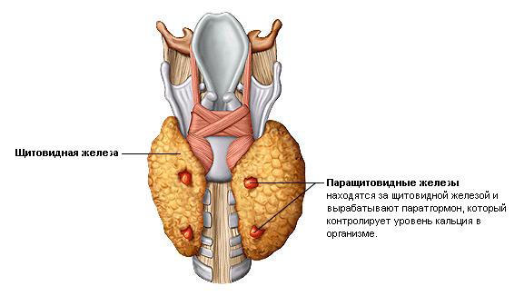 Щитовидная железа - это что такое щитовидная